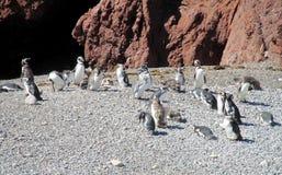 Pingouins de Magellan sur le bord de la mer Image libre de droits