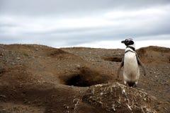 Pingouins de Magellan sur une île Photos libres de droits