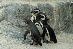 Pingouins de Magellanic Photo libre de droits