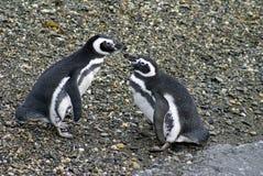 Pingouins de Magellanic exécutant un affichage de accouplement sur une île rocheuse près d'Ushuaia, Argentine Image stock