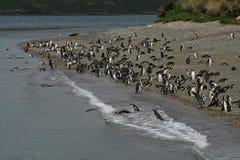 Pingouins de Magellanic, la Manche de briquet, Argentine Image stock