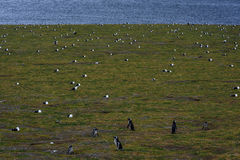 Pingouins de Magellanic, Magdalena Island, Chili Photo stock