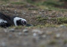 Pingouins de Magellanic, Magdalena Island, Chili Image stock