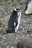 Pingouins de Magellanic sur une île rocheuse près d'Ushuaia, Argentine Image stock