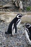 Pingouins de Magellanic sur une île rocheuse près d'Ushuaia, Argentine Image libre de droits