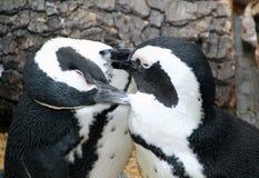Pingouins de Magellanic sympathiques Image stock