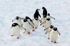 Pingouins de marche de Gentoo Photos stock