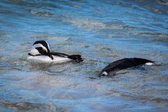 Pingouins de natation Images libres de droits