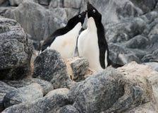 Pingouins de poursuite Images stock