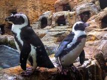 Pingouins de refroidissement Image libre de droits