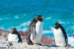 Pingouins de Rockhopper Images libres de droits