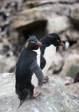 Pingouins de Rockhopper placé sur Boulder Photos libres de droits