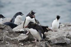 Pingouins de Rockhopper sur Falkland Islands Image libre de droits