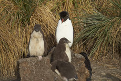Pingouins de Rockhopper sur une île plus morne Photo libre de droits