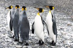 Pingouins de roi Photos libres de droits