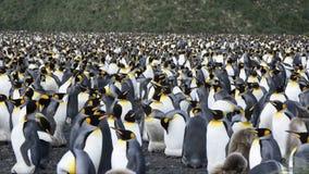 Pingouins de roi chez la Géorgie du sud banque de vidéos