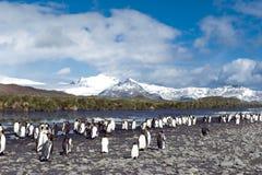 Pingouins de roi en Géorgie du sud Image libre de droits