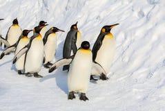 Pingouins de roi marchant sur la neige Photographie stock