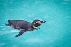 Pingouins drôles Photo libre de droits
