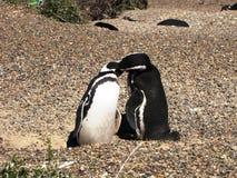 Pingouins embrassant à la lumière du soleil dans Punta Tombo, Argentine Images stock