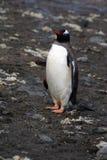 Pingouins en Antarctique Photo stock