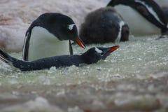 Pingouins en Antarctique photos libres de droits