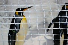Pingouins en captivité Photographie stock libre de droits