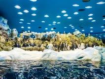 Pingouins en parc de Loro (Loro Parque) Le parc de Loro est l'un des parcs animaliers d'Europa les plus c?l?bres, T?n?rife, ?les  image stock