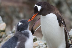 Pingouins femelles de Gentoo qui alimente le poussin Photographie stock