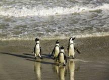 Pingouins marchant maladroitement à la plage de Boulder photos libres de droits