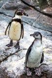 Pingouins mignons de Humboldt au parc atlantique de mer dans Alesund photos libres de droits