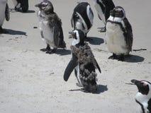Pingouins muants de nouvelles plumes photographie stock