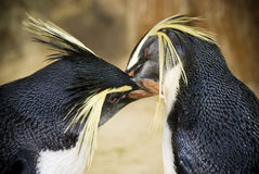 Pingouins orientaux de Rockhopper Photo libre de droits