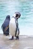 Pingouins par la mer image stock