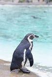 Pingouins par la mer image libre de droits