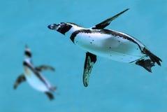 Pingouins sous l'eau images libres de droits