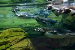 Pingouins sous-marins Photo libre de droits