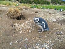 Pingouins sur la colonie de freux de pingouin de Magellanic d'île de Martillo photo stock