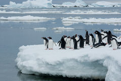 Pingouins sur la glace. Photographie stock