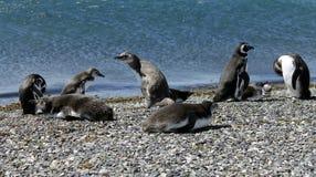 Pingouins sur la plage. Photographie stock libre de droits