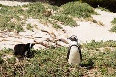 Pingouins sur la plage Images libres de droits