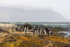 Pingouins sur les roches Photos libres de droits