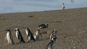 Pingouins sur Magdalena Island Chile clips vidéos