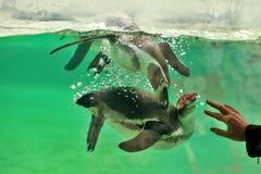 PINGOUINS - ZOO - LA HONGRIE Images libres de droits