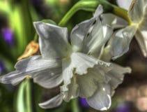 pingstlilja Royaltyfria Foton