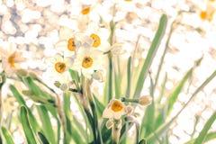 pingstlilja Royaltyfri Bild