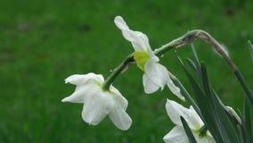 Pingstlilja för vita blommor