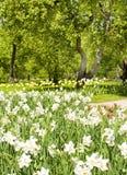 Pingstlilja i äppleträdgård Arkivfoton