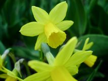 Pingstlilja i vår Blommande påskliljor, pingstlilja, i trädgården Äng som fylls med bestrålade gula påskliljor Arkivfoto