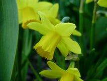 Pingstlilja i vår Blommande påskliljor, pingstlilja, i trädgården Äng som fylls med bestrålade gula påskliljor Arkivbilder